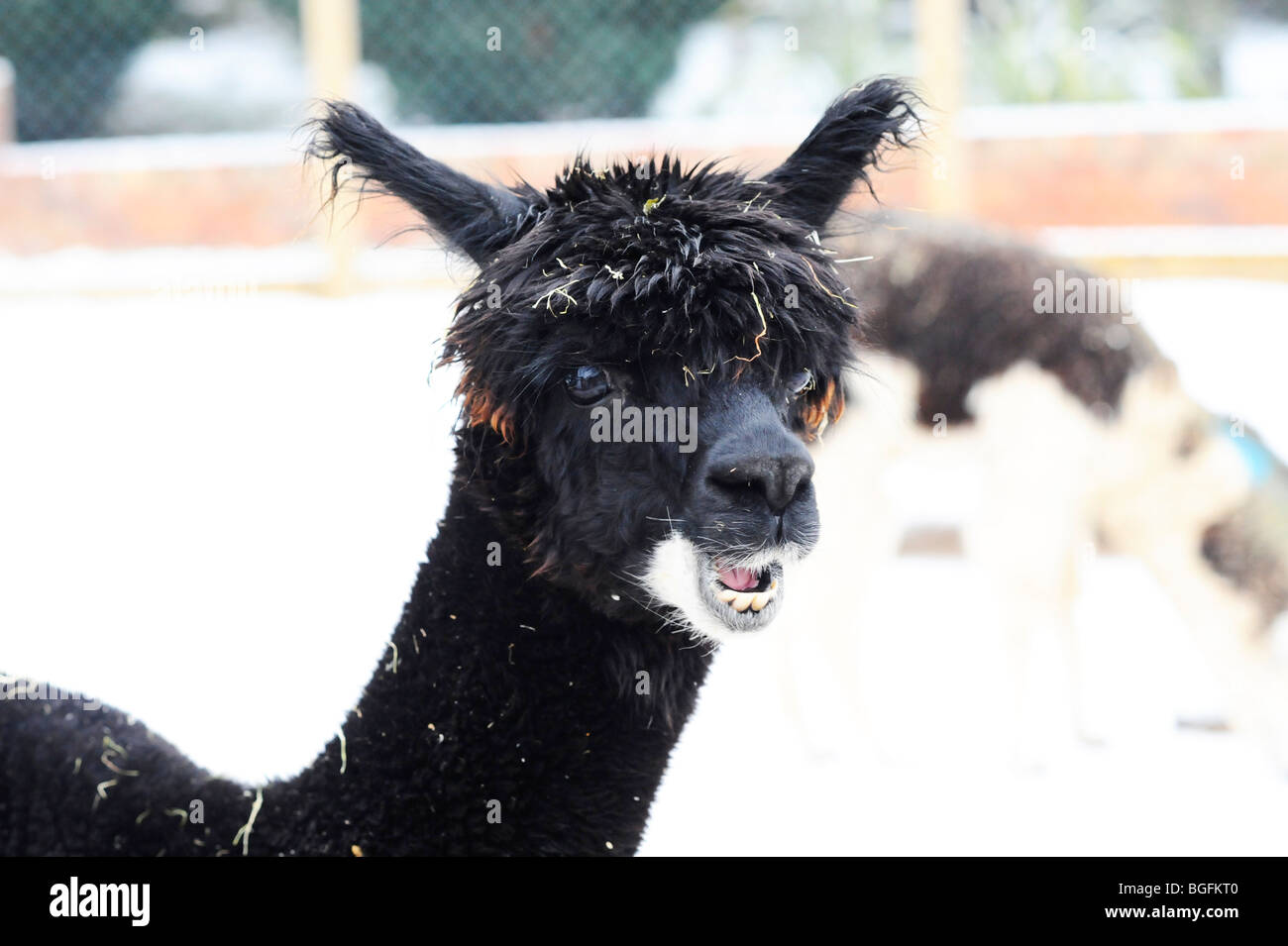 Alpaca (Lama pacos) at Twycross Zoo in the snow - Stock Image
