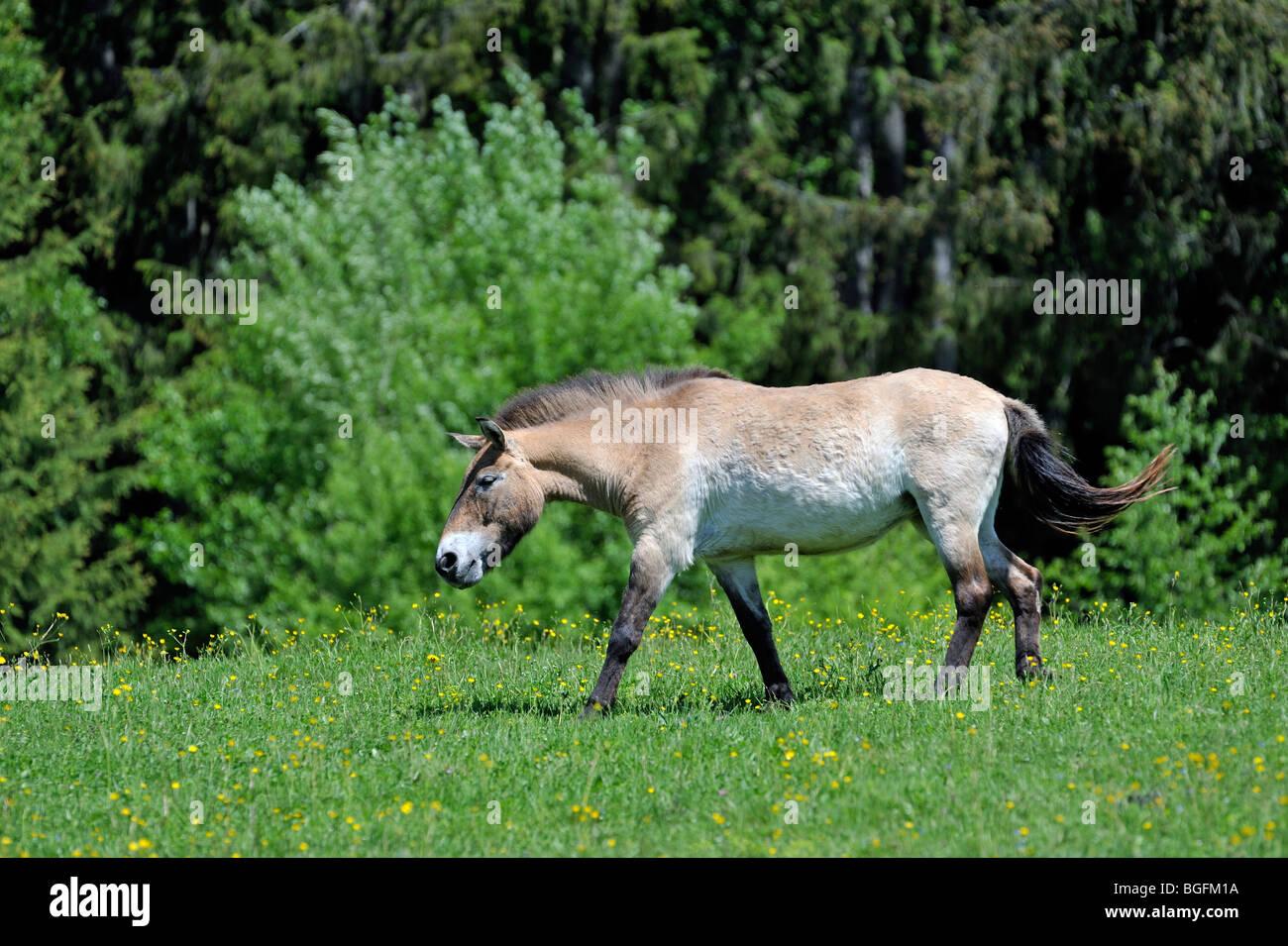 Przewalski's horse (Equus ferus przewalskii) on edge of forest, native to Mongolia - Stock Image