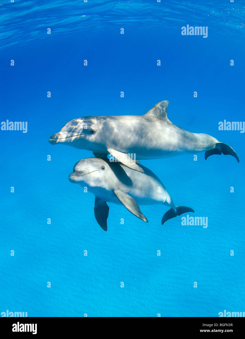 Three Bottlenose Dolphin (Tursiops truncatus) underwater in the Bahamas with another pod in the background. - Stock Image