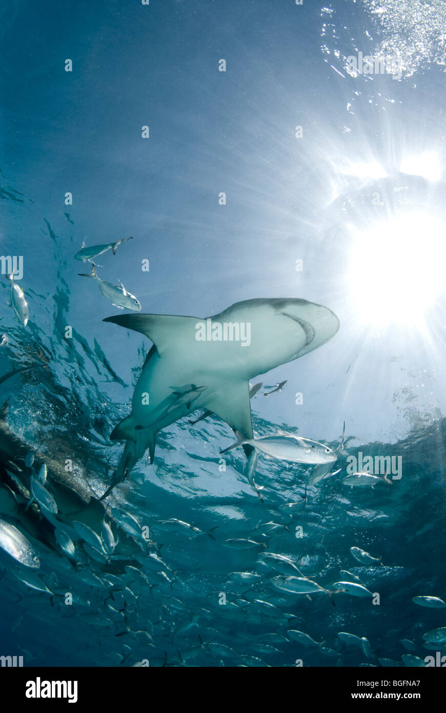 A Lemon Shark (Negaprion brevirostris) swims through a school of jacks under the shining sun in the waters of Grand - Stock Image