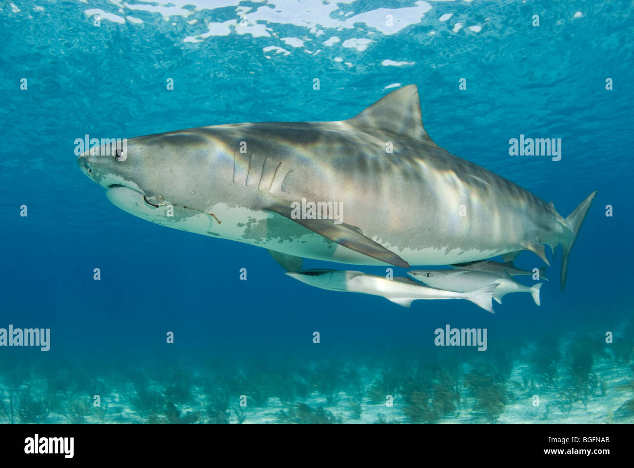 A graceful Tiger Shark (Galeocerdo cuvier) with two large remoras in the shallow waters of the Bahamas. - Stock Image