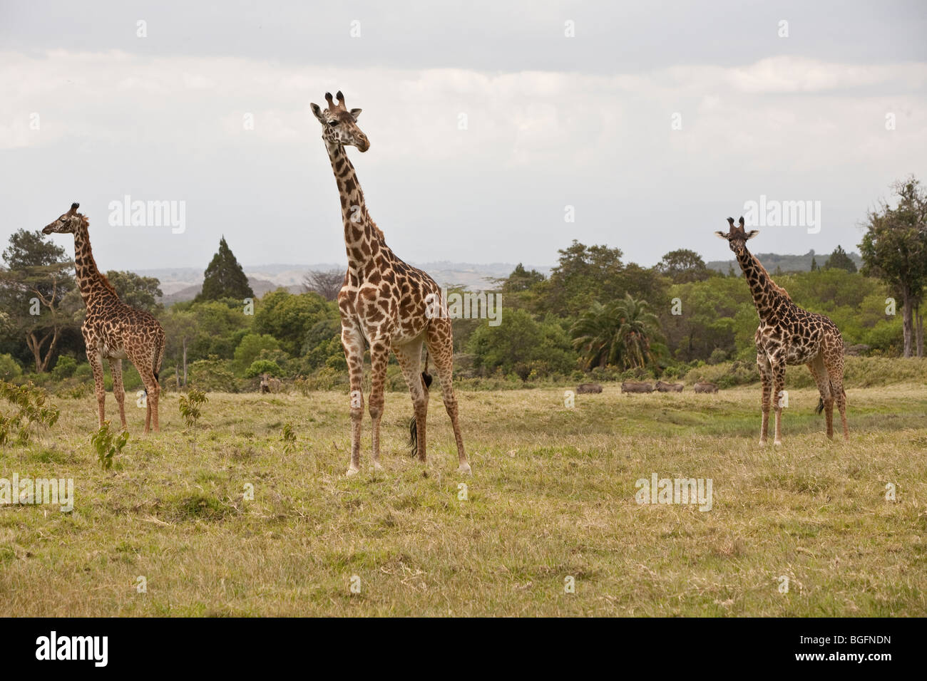 Three giraffe, Arusha National Park, Tanzania, East Africa - Stock Image