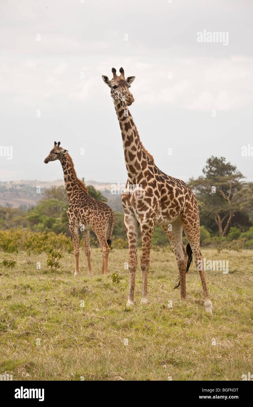 Two giraffe, Arusha National Park, Tanzania, East Africa - Stock Image