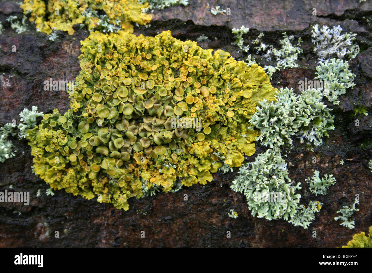 Yellow Lichen Xanthoria parietina Taken at Far Ings Nature Reserve, Lincolnshire, UK - Stock Image