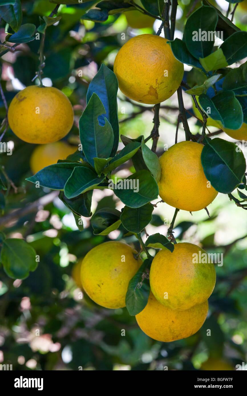Valencia Oranges in Hawaii - Stock Image