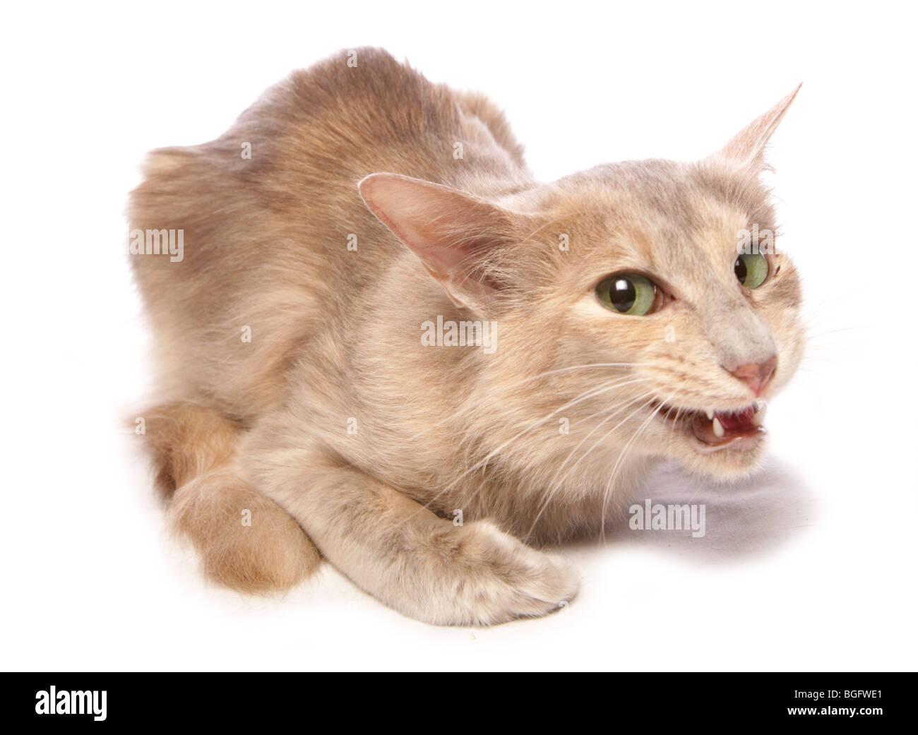 Long-haired oriental Cat Single adult female Studio - Stock Image