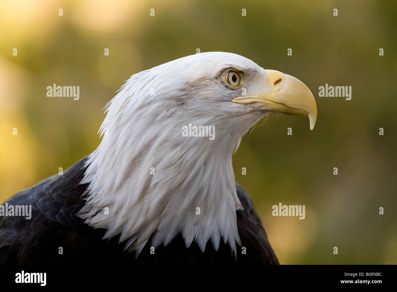 Bald Eagle in profile taken at San Francisco Zoo Stock Photo