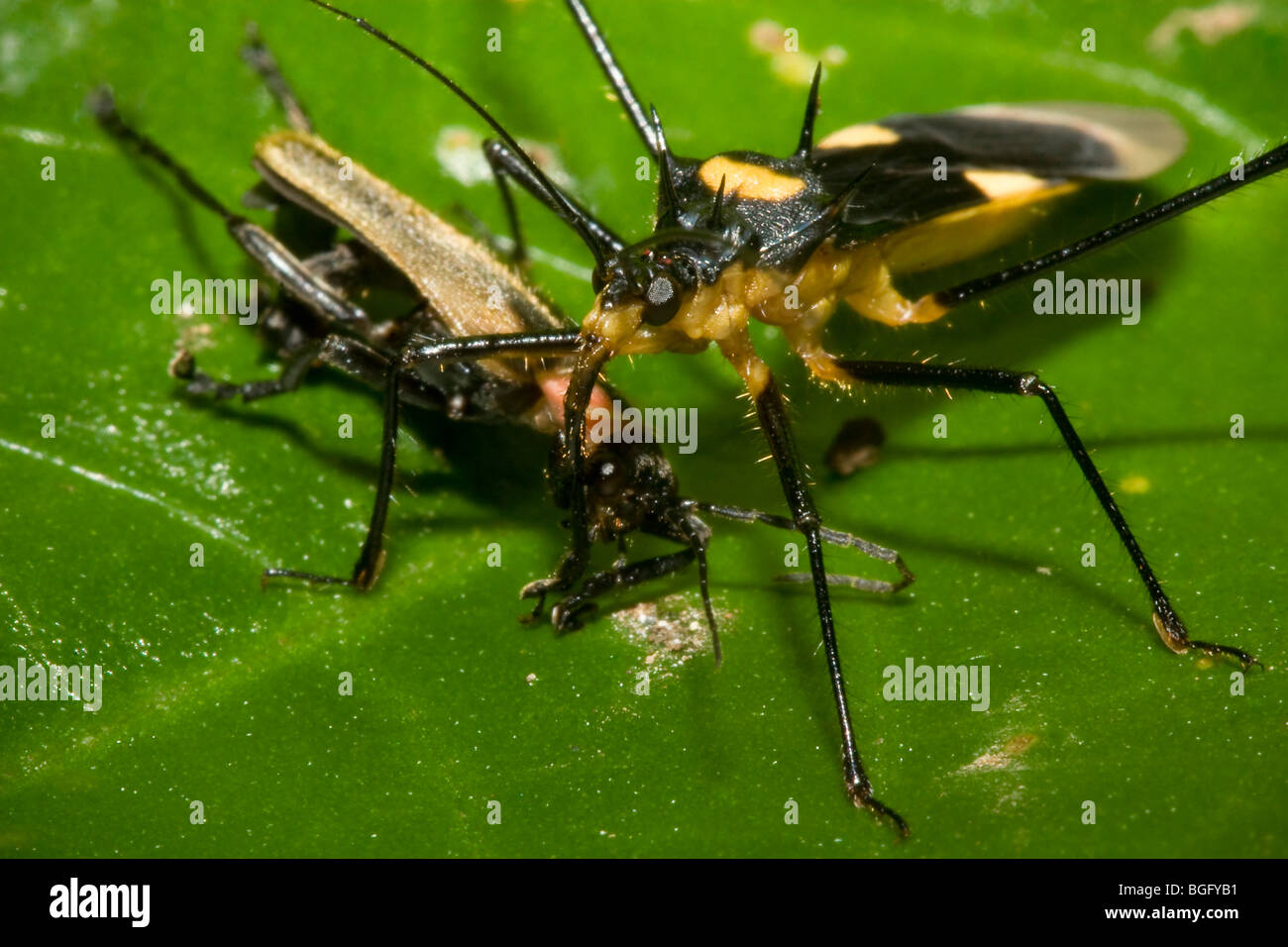 Tropical assassin bug, family Reduviidae, with beetle prey. Stock Photo