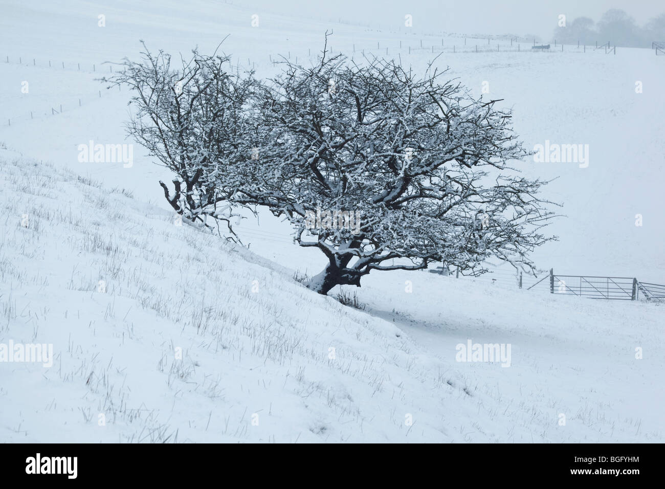 A Hawthorn tree in a snowy downland landscape - Stock Image