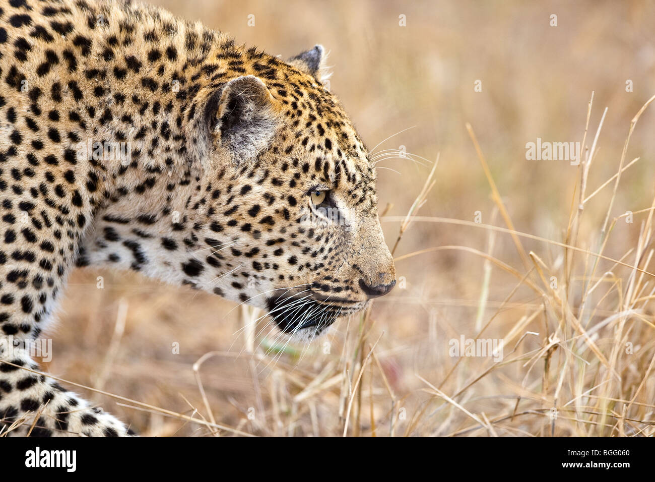 Leopard head close-up - Stock Image