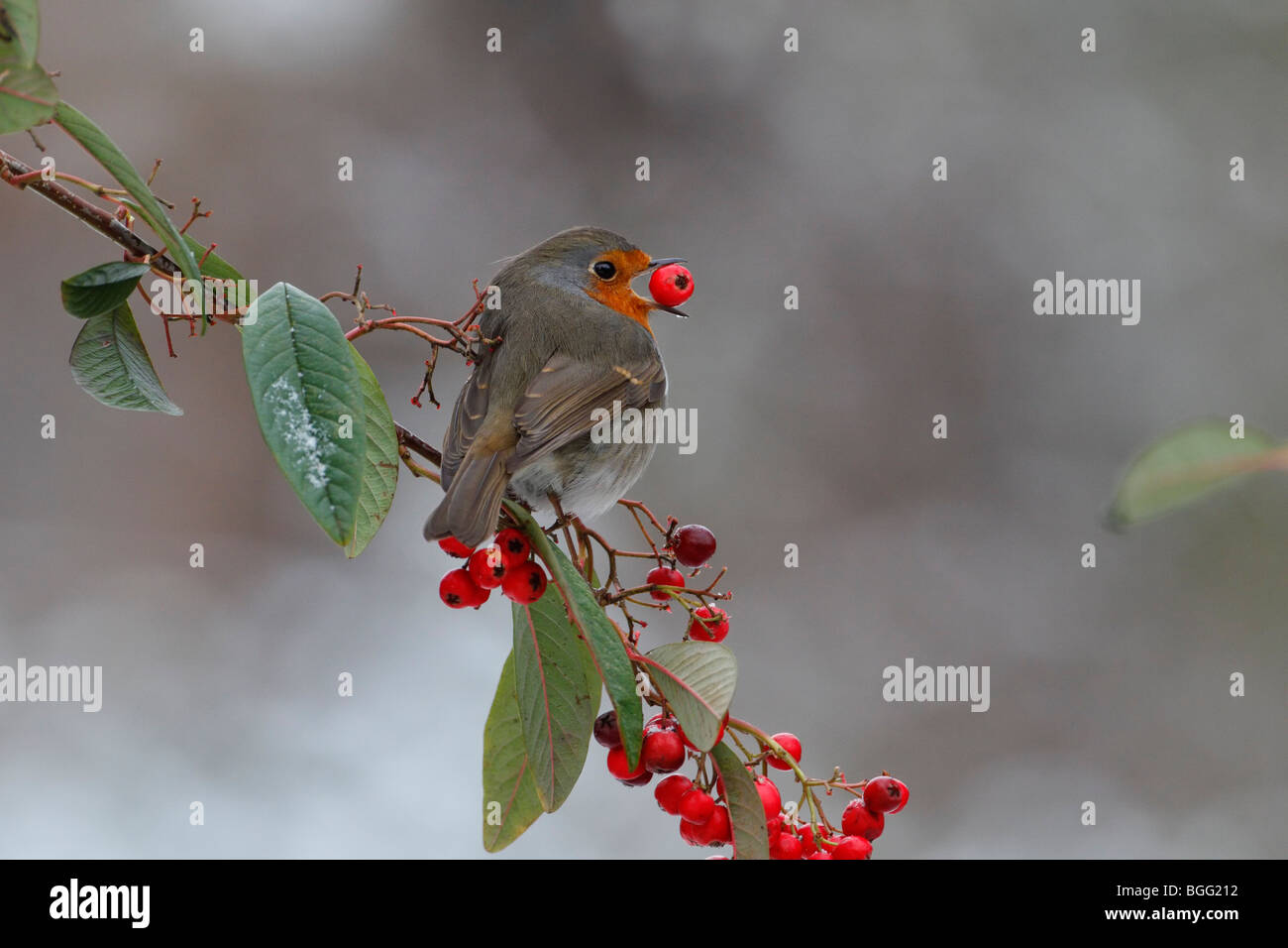Robin Erithacus rubecula with Cotoneaster berry - Stock Image