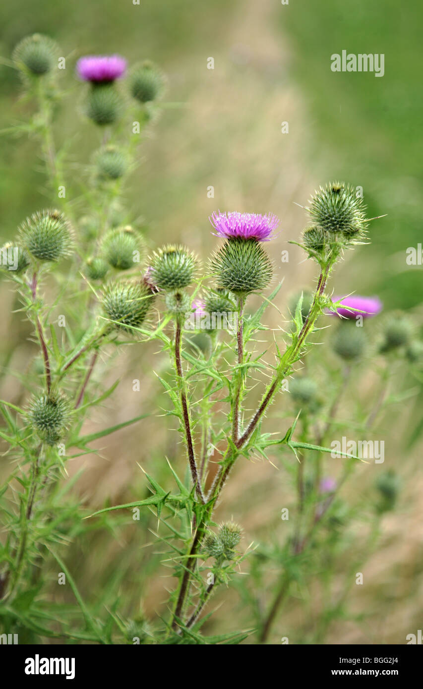 Spear Thistle Cirsium vulgare buds and opening flower heads - Stock Image