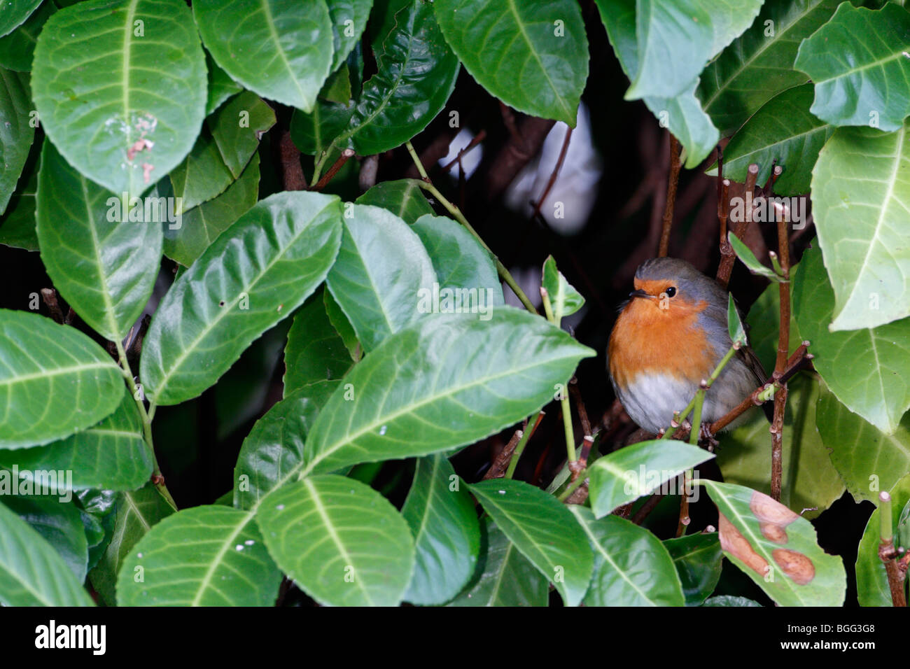 Robin Erithacus rubecula hideing in bush - Stock Image