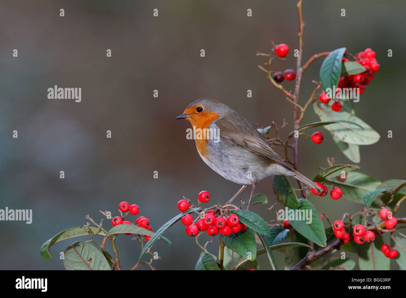 Robin Erithacus rubecula on berry's - Stock Image