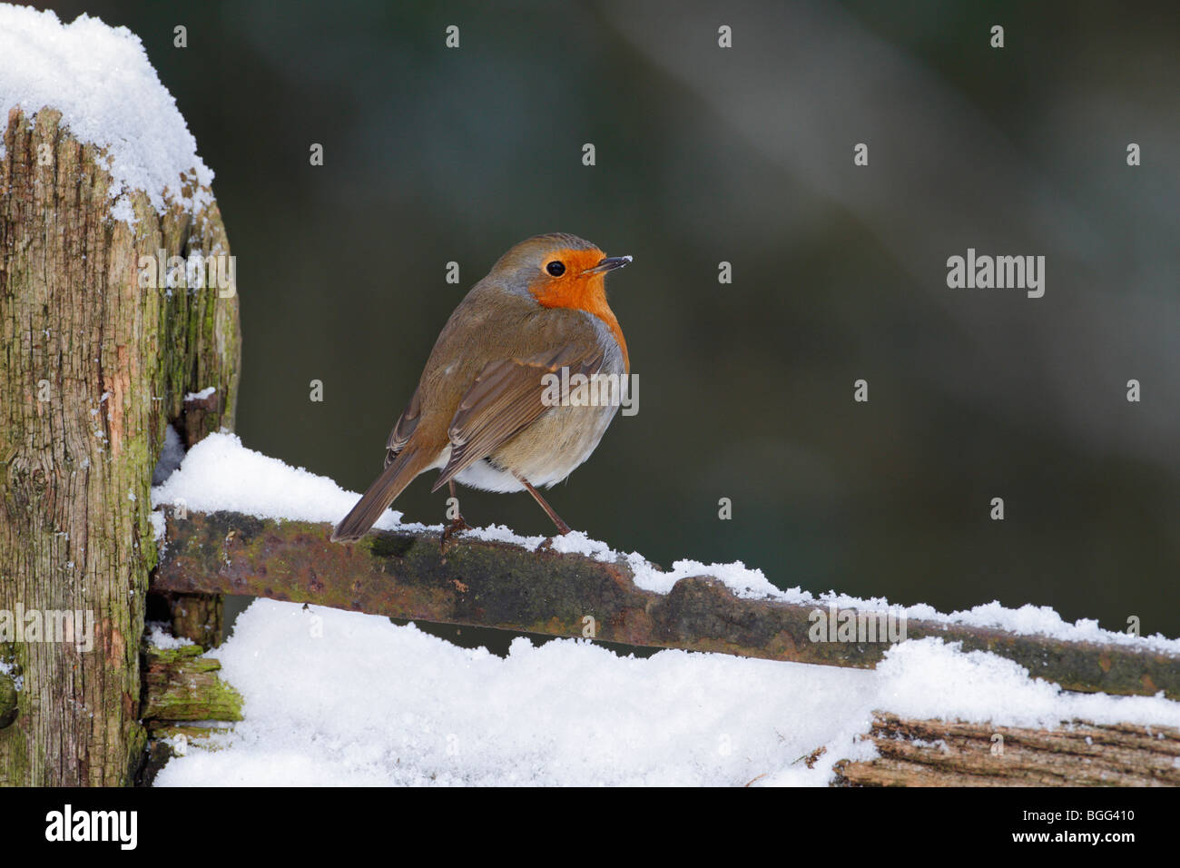 Robin Erithacus rubecula on snowy gate - Stock Image