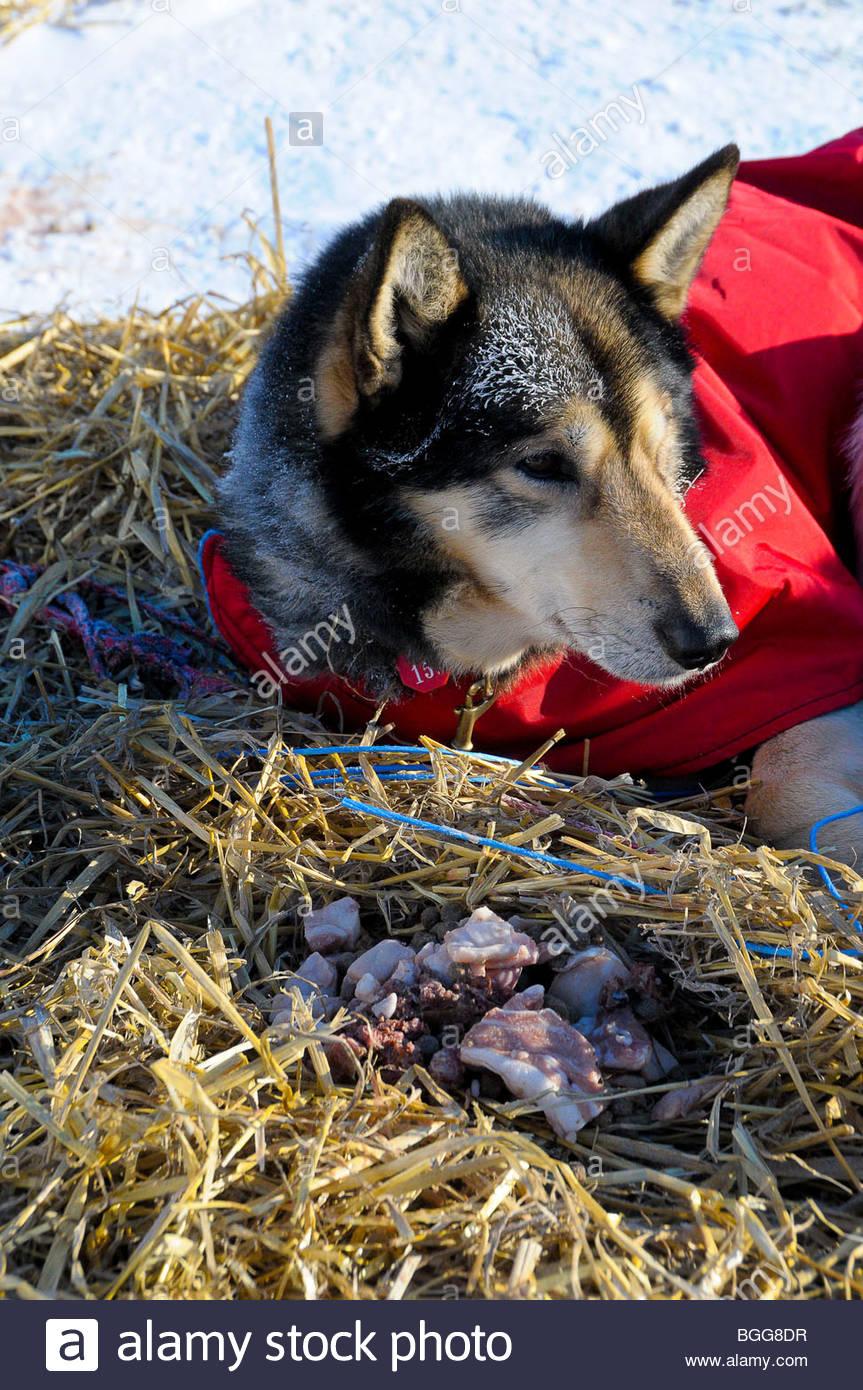 Sled dog and frozen bones at Unalakleet checkpoint, Iditarod Race 2009, Alaska, March 16, 2009 - Stock Image