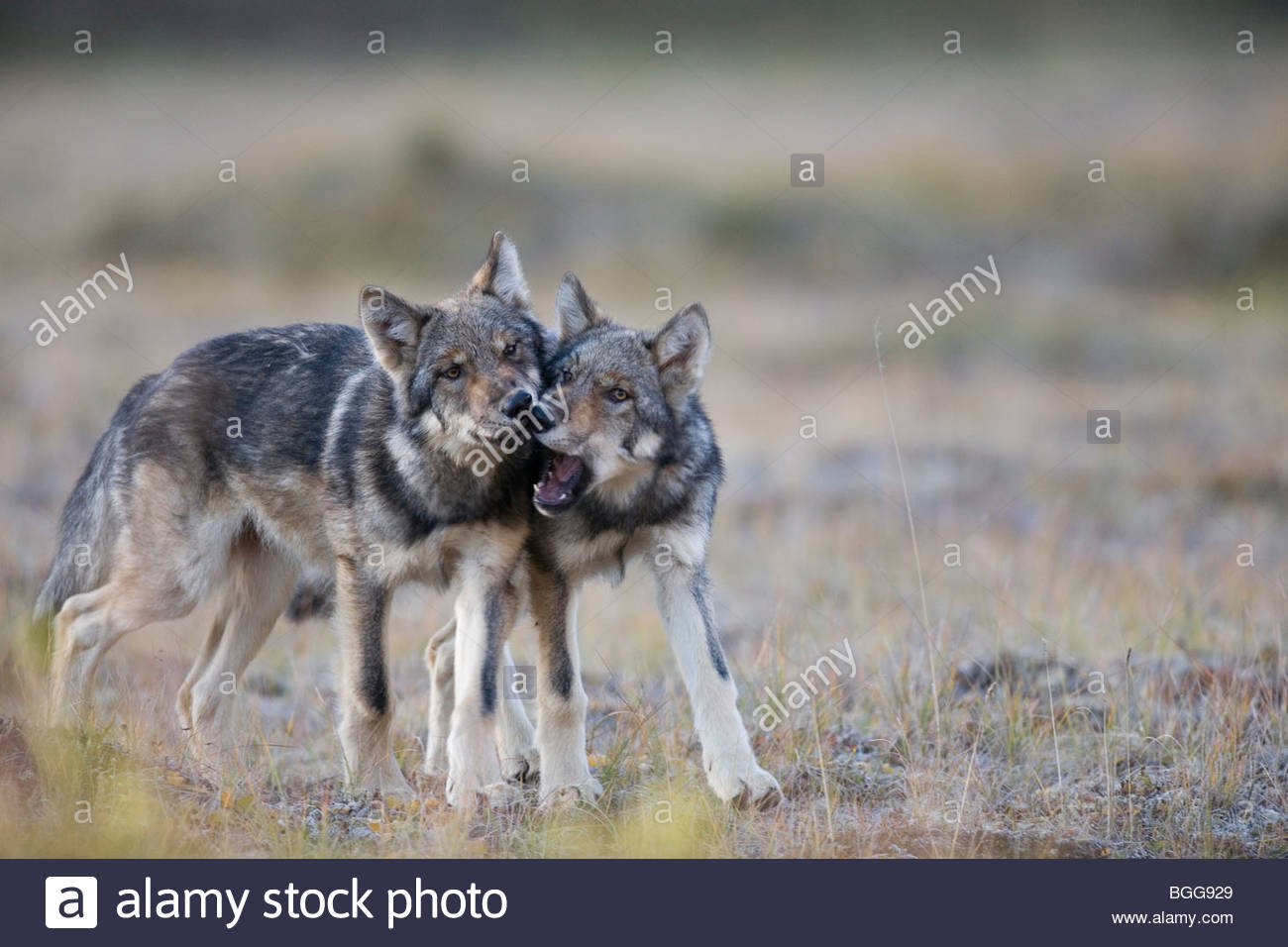 Wolf, Canis lupus, pups of Grant Creek pack play, alpine tundra, autumn, Denali National Park, Alaska, horizontal, - Stock Image