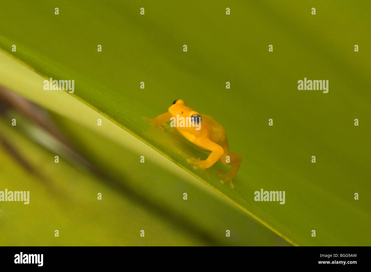 Golden Poison-Dart Frog (Colostethus beebei) poised on Giant Tank Bromeliad (Brocchinia micrantha) leaf Kaieteur - Stock Image