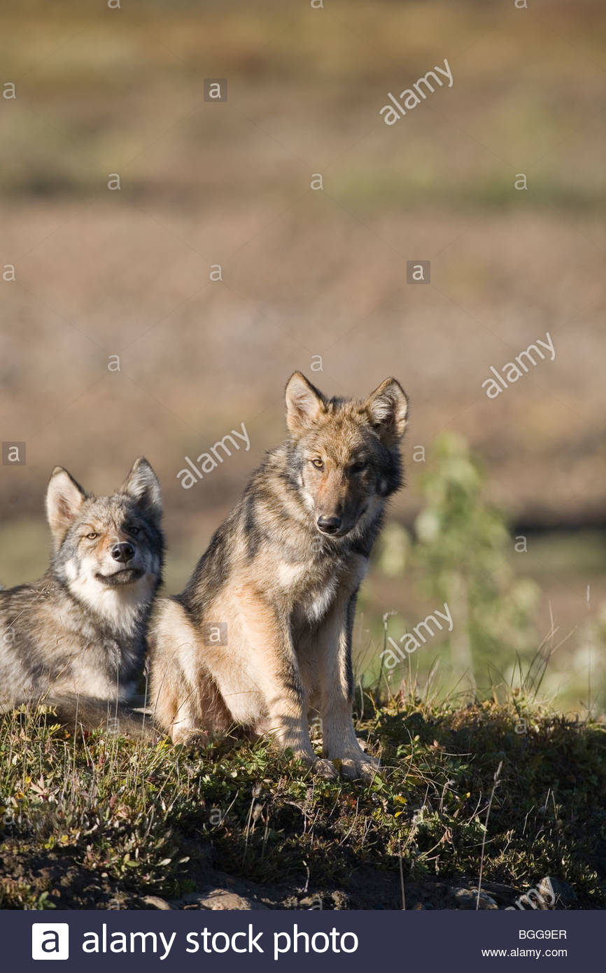 Wolf, Canis lupus, pups rest on autumn tundra, Grant Creek pack, vertical, Denali National Park, Alaska, wild - Stock Image