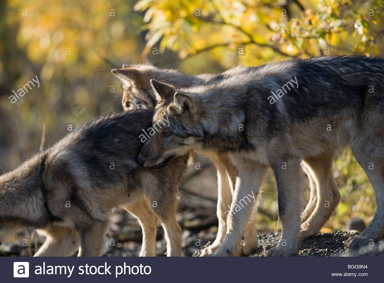 Wolf, Canis lupus, pups, autumn, alpine tundra, Grant Creek pack, Denali National Park, Alaska, horizontal, wild - Stock Image