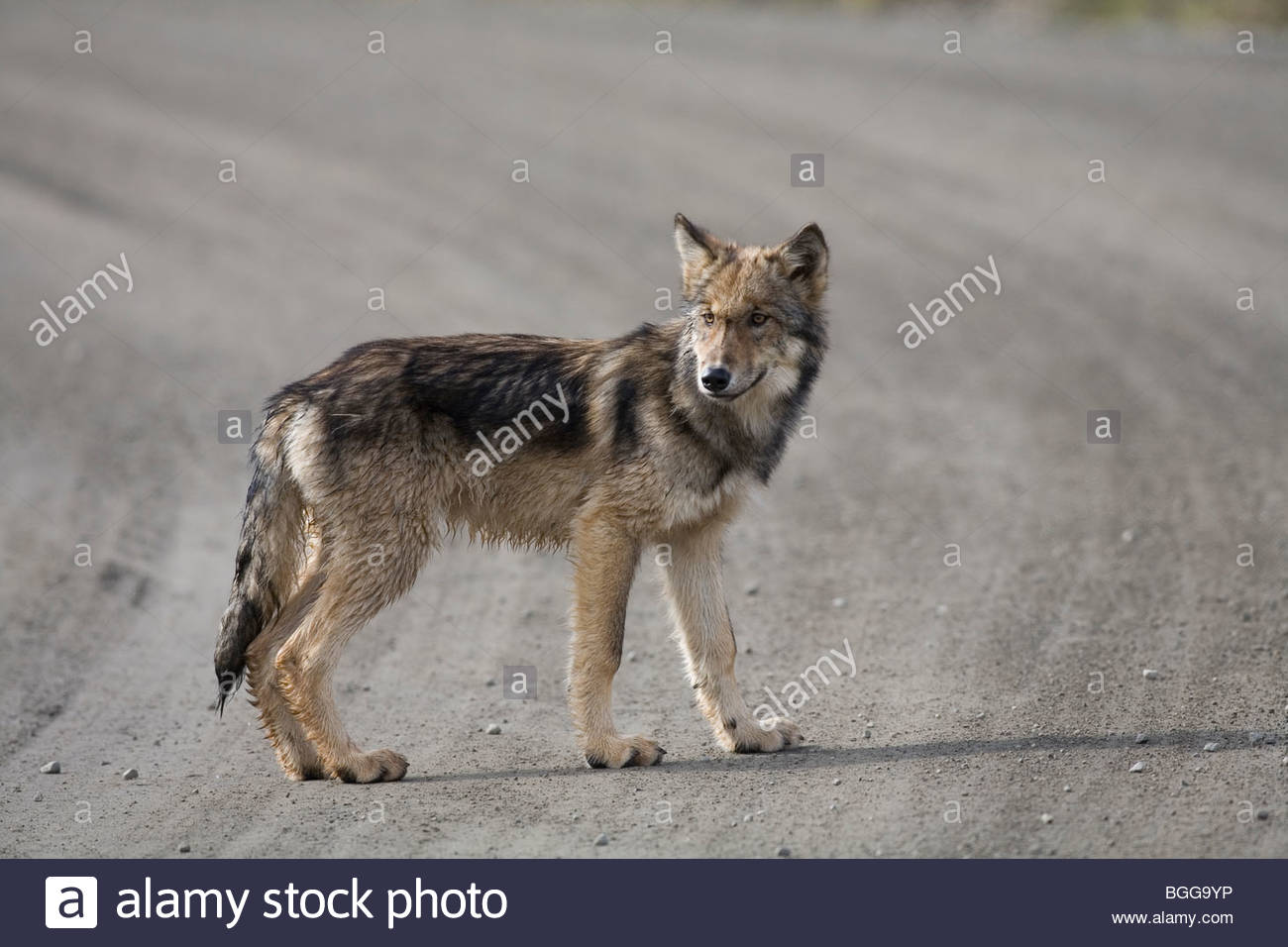 Wolf, Canis lupus, pup of Grant Creek pack, walking on dirt road, Denali National Park, Alaska, horizontal, wild Stock Photo