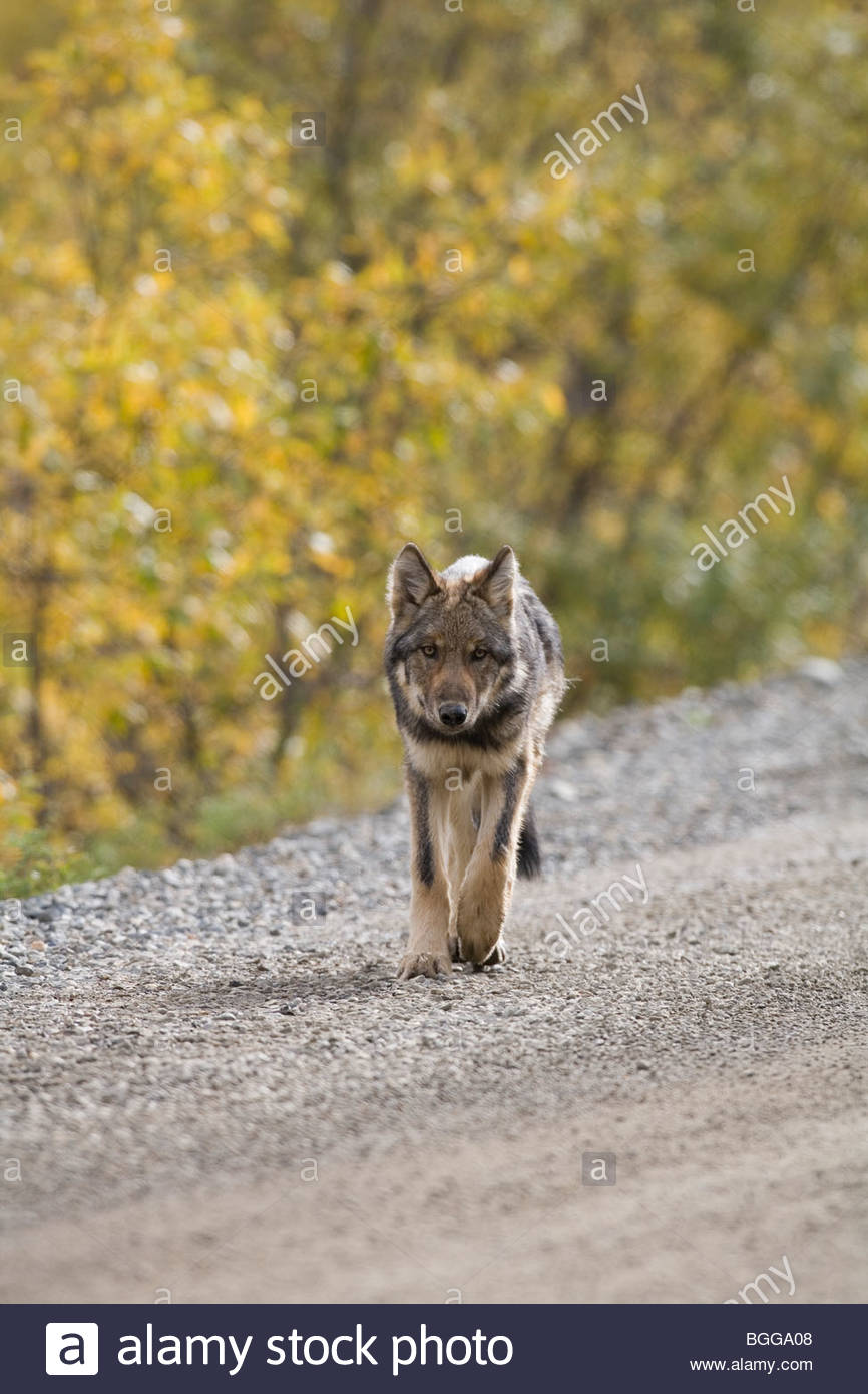 Wolf, Canis lupus, pup, autumn, walking on dirt road, Grant Creek pack, Denali National Park, Alaska, vertical, Stock Photo