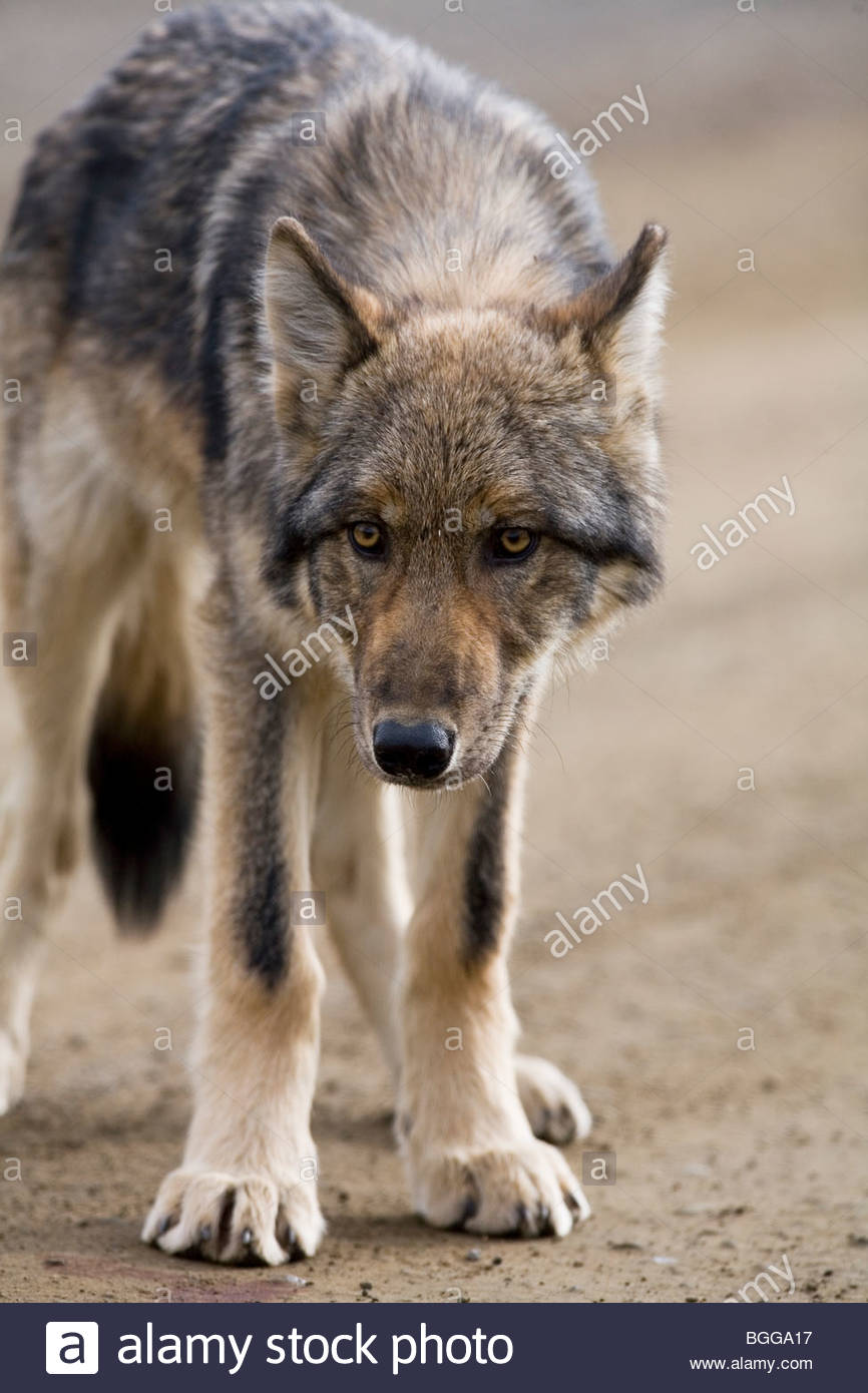 Wolf, Canis lupus, pup, autumn, on dirt road, closeup, Grant Creek pack, Denali National Park, Alaska, vertical, Stock Photo