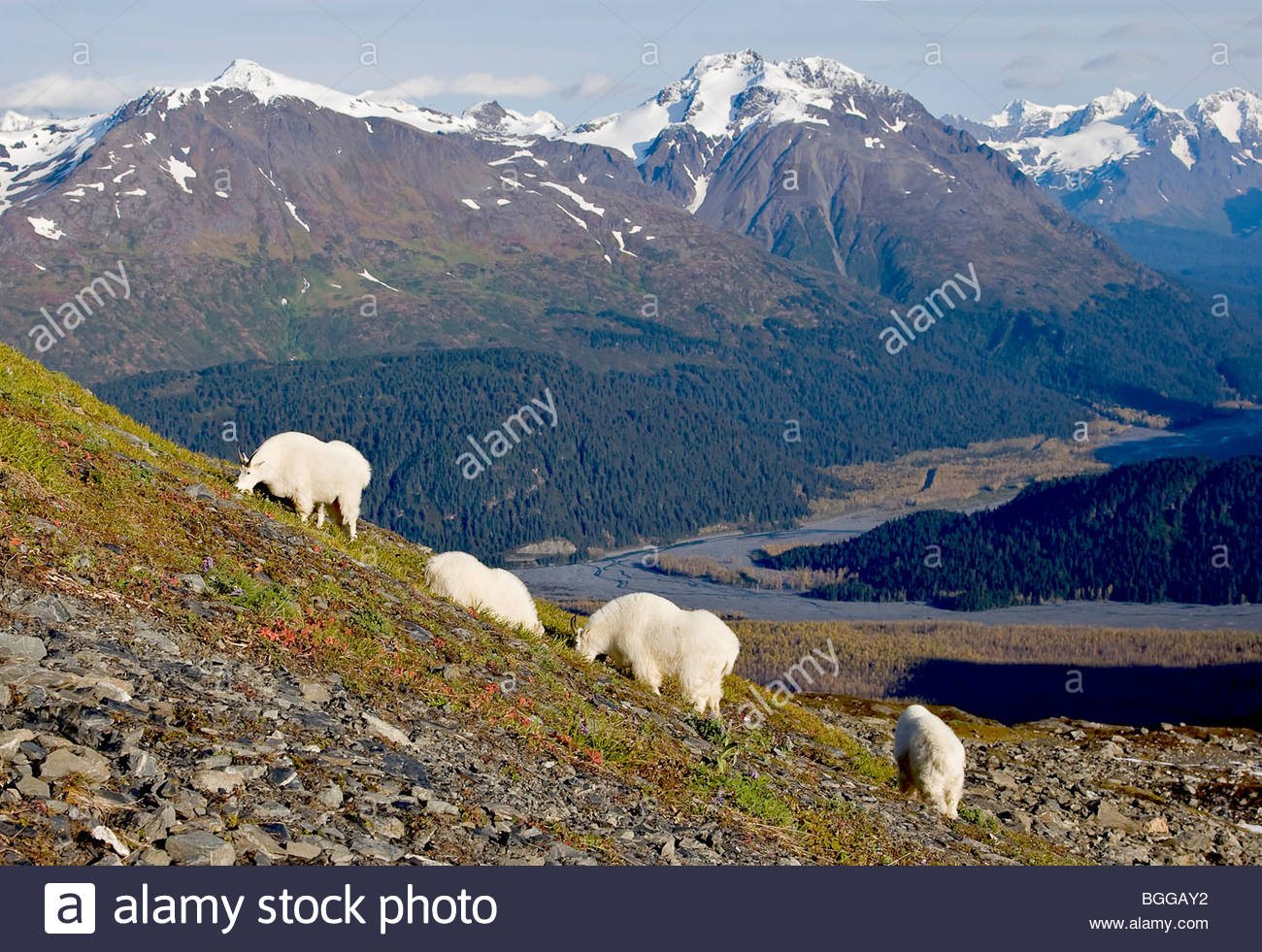 Alaska. Mounatin Goats (Oreamnos americanus) eating mountainside tundra grasses, Kenai Fjords National Park. - Stock Image