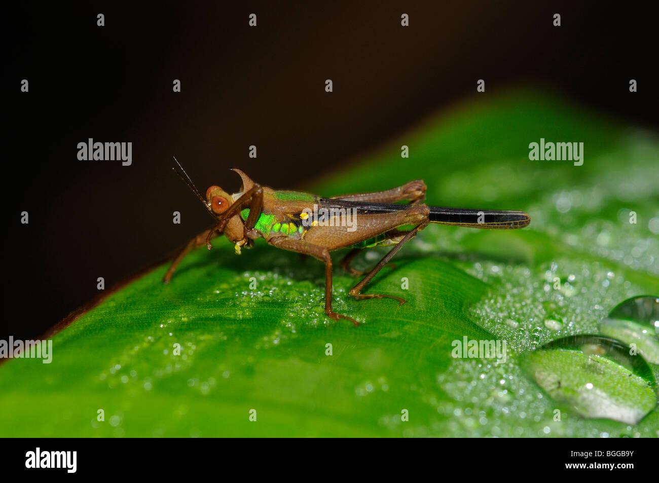 Aeroplane Grasshopper (Eumasticid species) resting on leaf, Alta Floresta, Amazonia, Brazil. - Stock Image