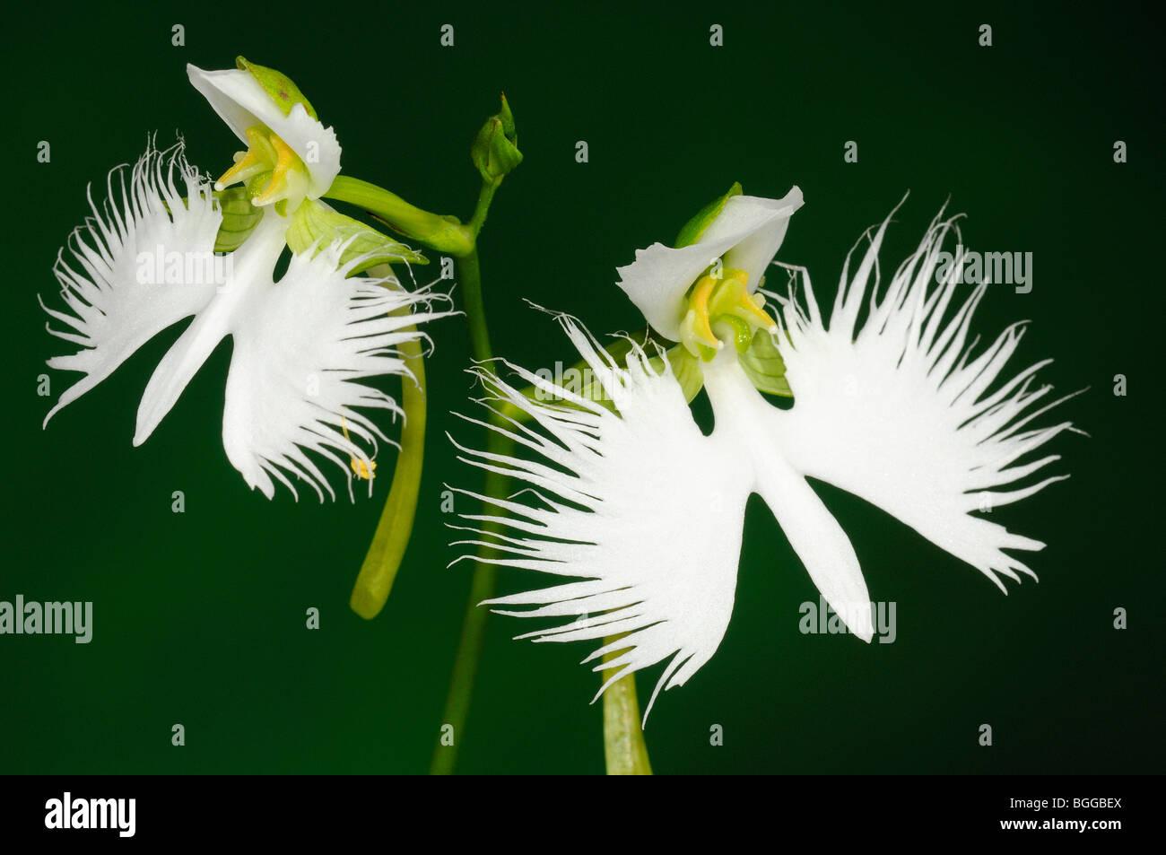 White egret flower stock photos white egret flower stock images egret orchid habenaria radiata pair of white flowers on flower stalk stock mightylinksfo