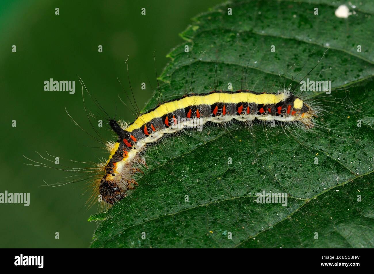 Caterpillar of Grey Dagger Moth (Acronicta psi) feeding on Lime tree leaf, Oxfordshire, UK. - Stock Image