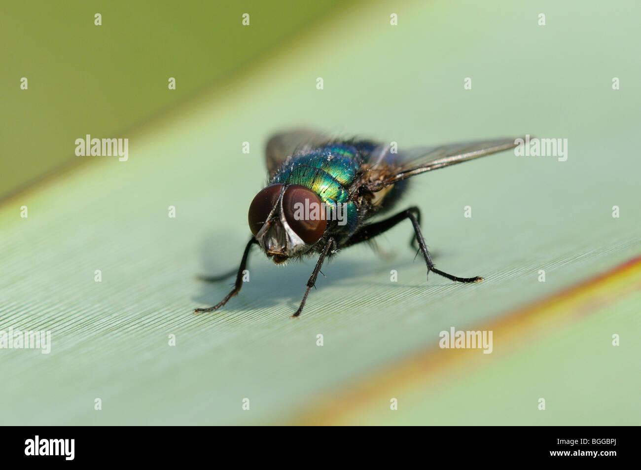 Greenbottle Fly (Lucilia caesar) Oxfordshire, UK. - Stock Image