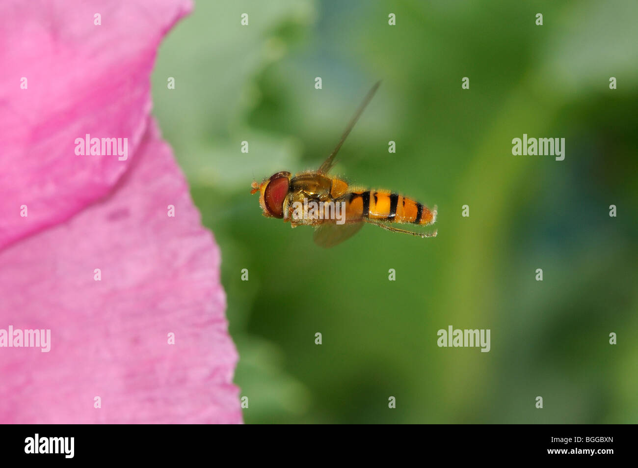 Hoverfly (Xanthogramma pedissequum) in flight, approaching poppy flower, Oxfordshire, UK. - Stock Image
