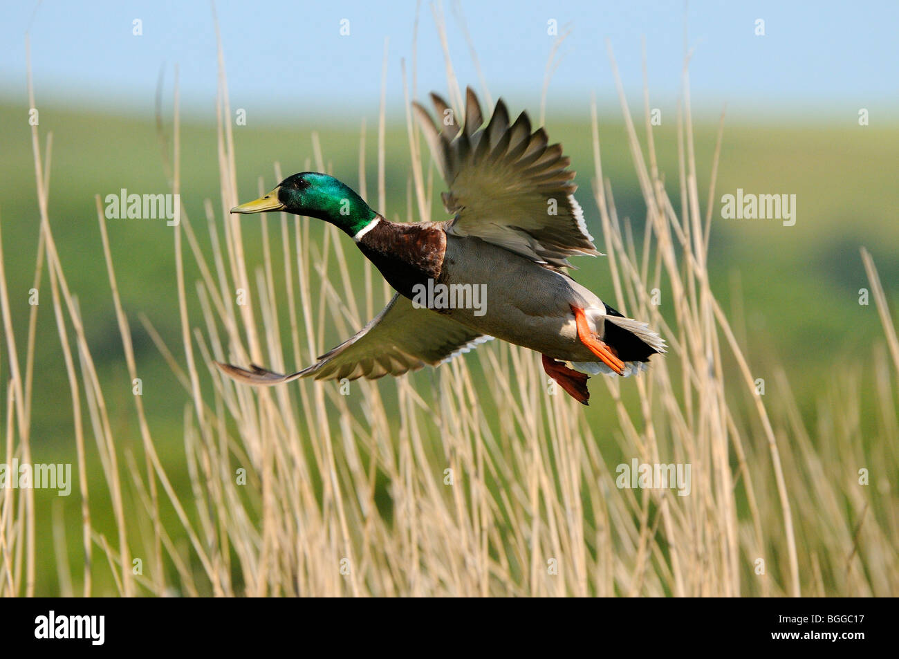 Mallard Duck (Anas platyrhynchos) taking flight from reedbed, Oxfordshire, UK. - Stock Image