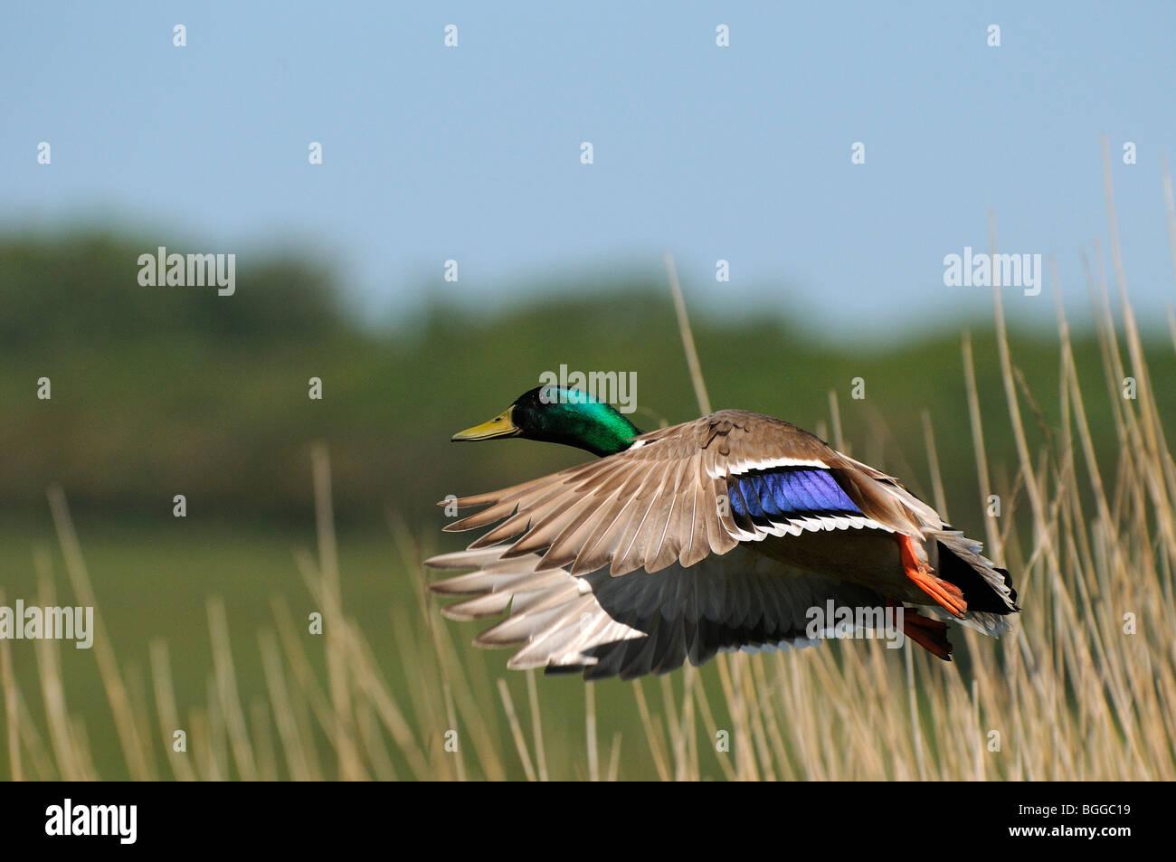 Mallard Duck (Anas platyrhynchos) male taking flight from reedbed, Oxfordshire, UK. - Stock Image