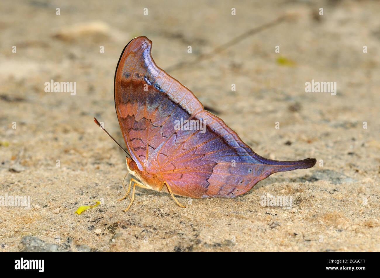Tutelina Daggerwing Butterfly (Marpesia tutelina) on ground feeding on minerals, Alta Floresta, Brazil. - Stock Image