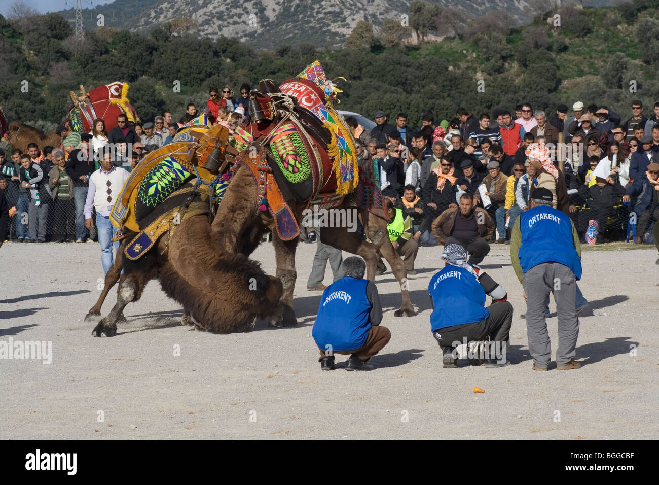 traditional camel fight in, Bodrum,Turkey - Stock Image