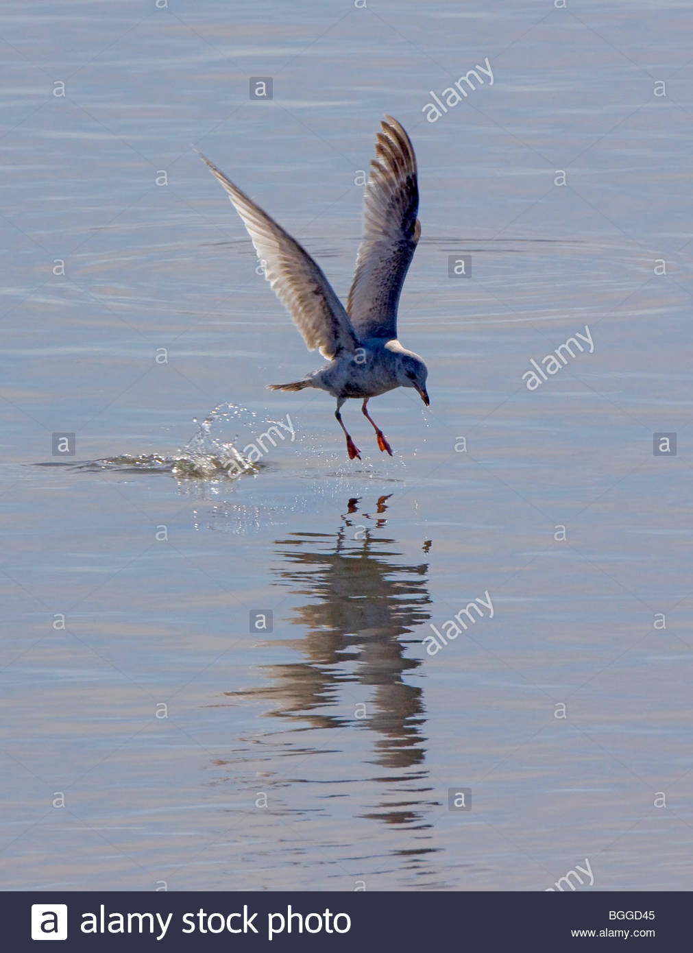 Alaska. Mew Gull (Larus canus) fishing along the Kenai River. - Stock Image