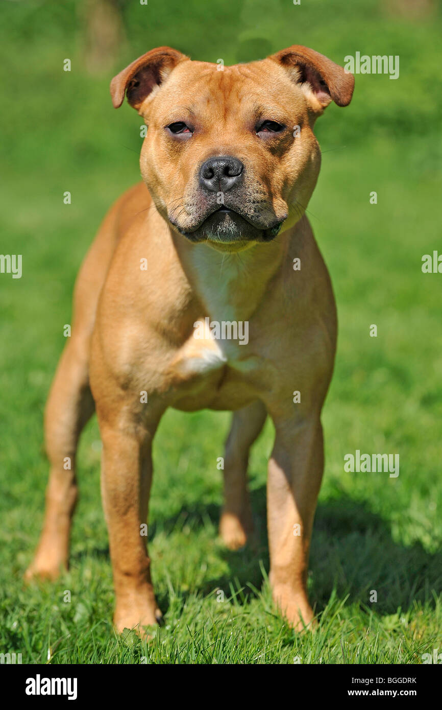staffordshire bull terrier dog - Stock Image