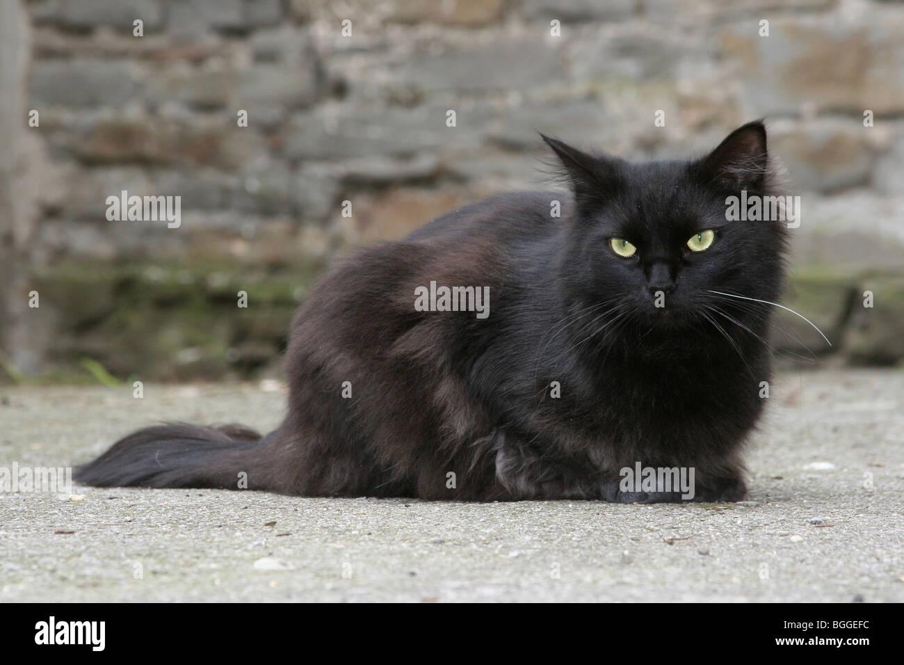 Domestic Cat (Felis silvestris, Felis catus). Black male in a backyard. - Stock Image