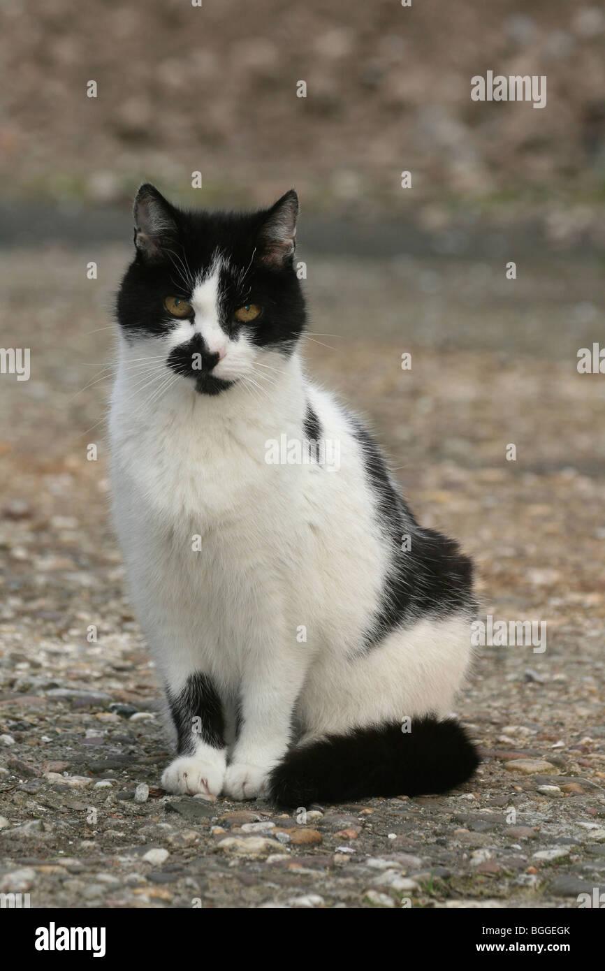 sphynx cat coat
