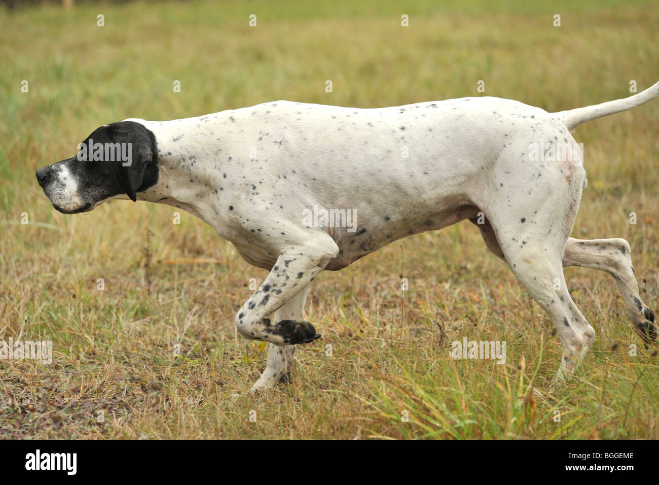 english pointer on point pointing - Stock Image