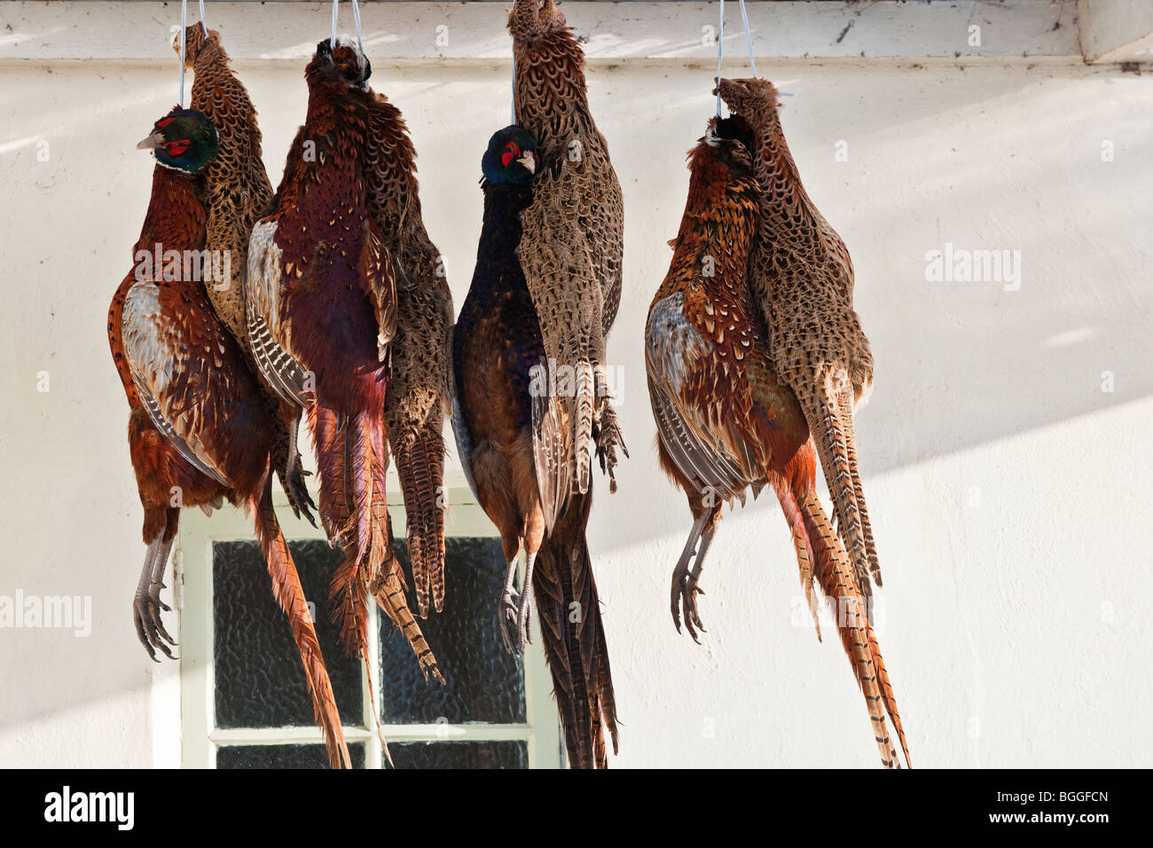 pheasants hanging outside - Stock Image