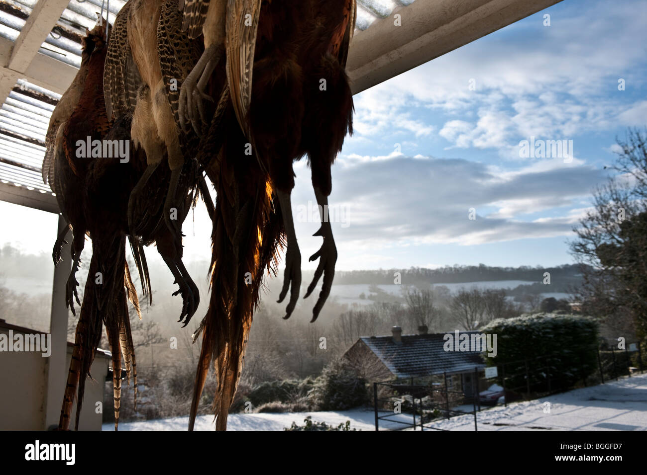 pheasants hanging outside in snow winter country - Stock Image