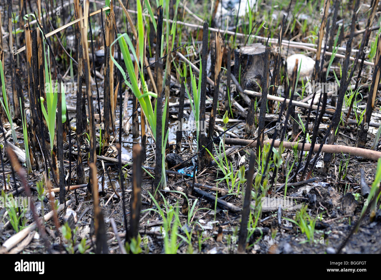 new plant growth after fire - Stock Image