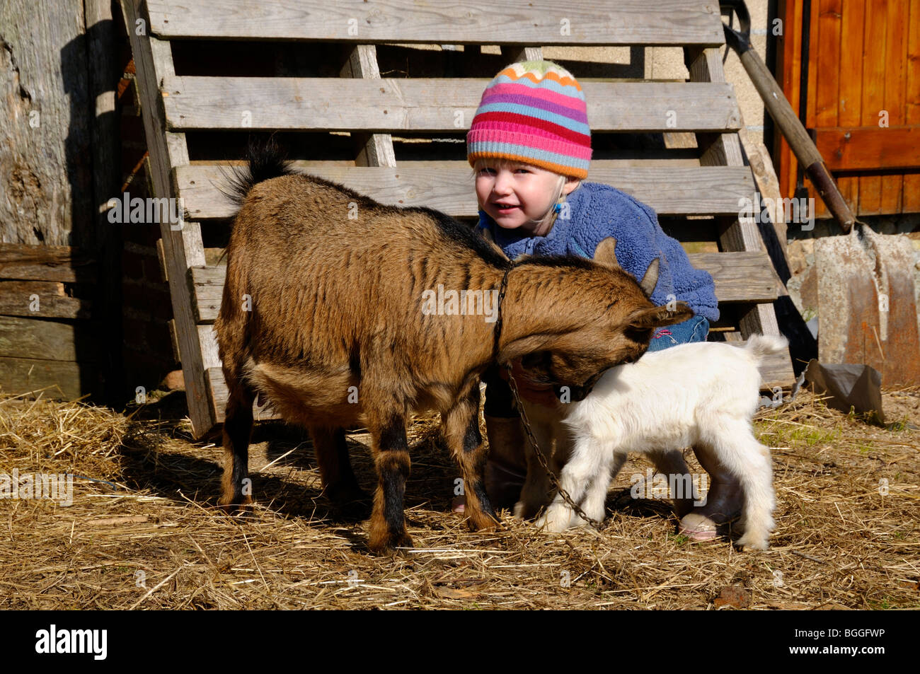 Stock photo of a 3 year old girl playing with a Pygmy goat and her kids on the family smallholding. - Stock Image