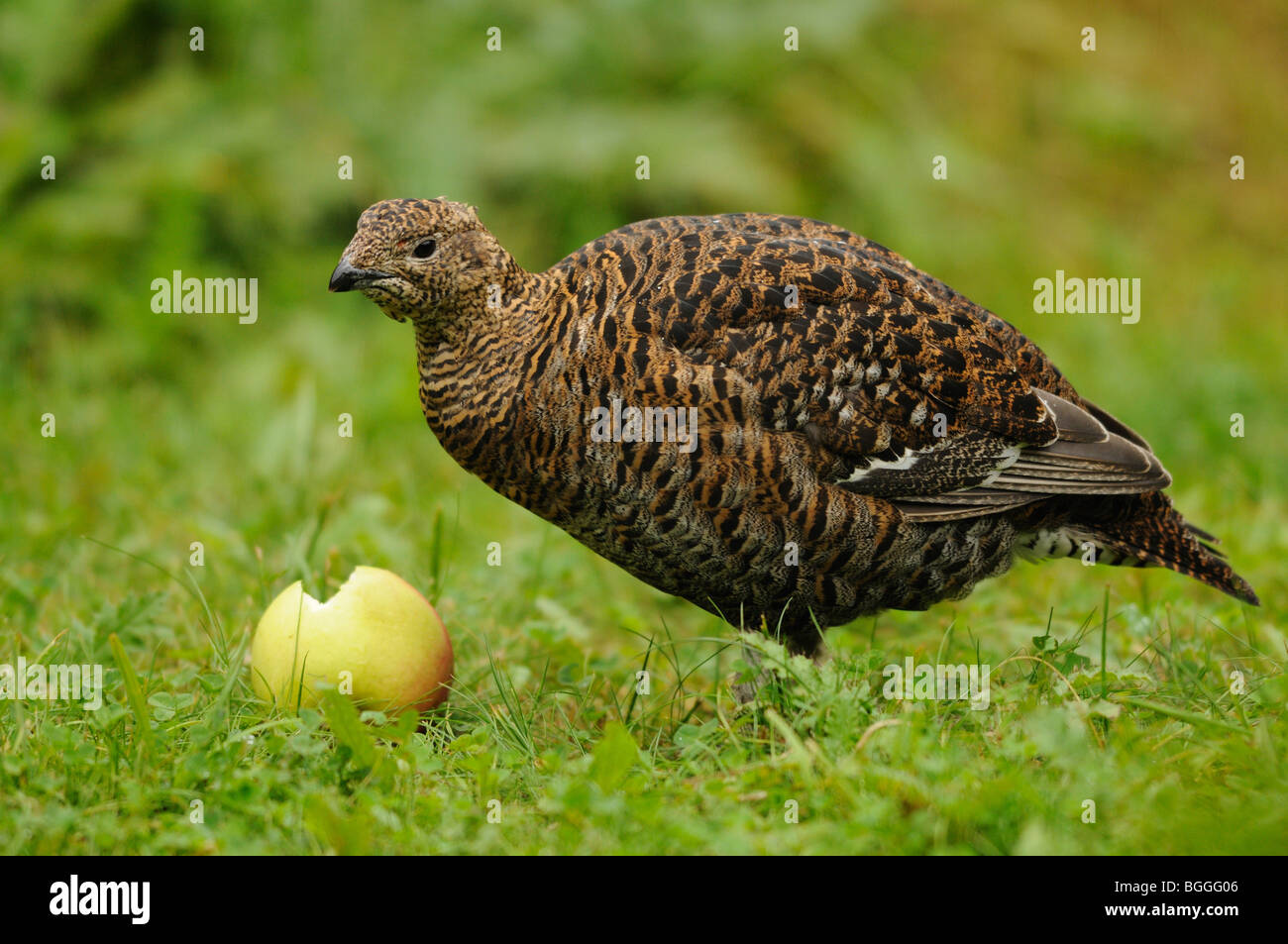 Black grouse, Lyrurus tetrix, Tetrao tetrix - Stock Image