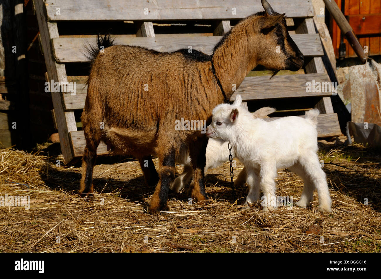 Stock photo of a mother Pygmy goat with her kid. - Stock Image