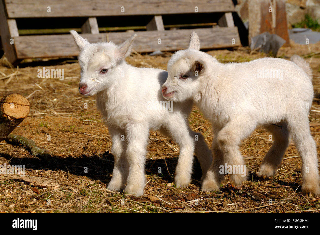 Stock photo of two white pygmy goat kids in a farmyard. - Stock Image