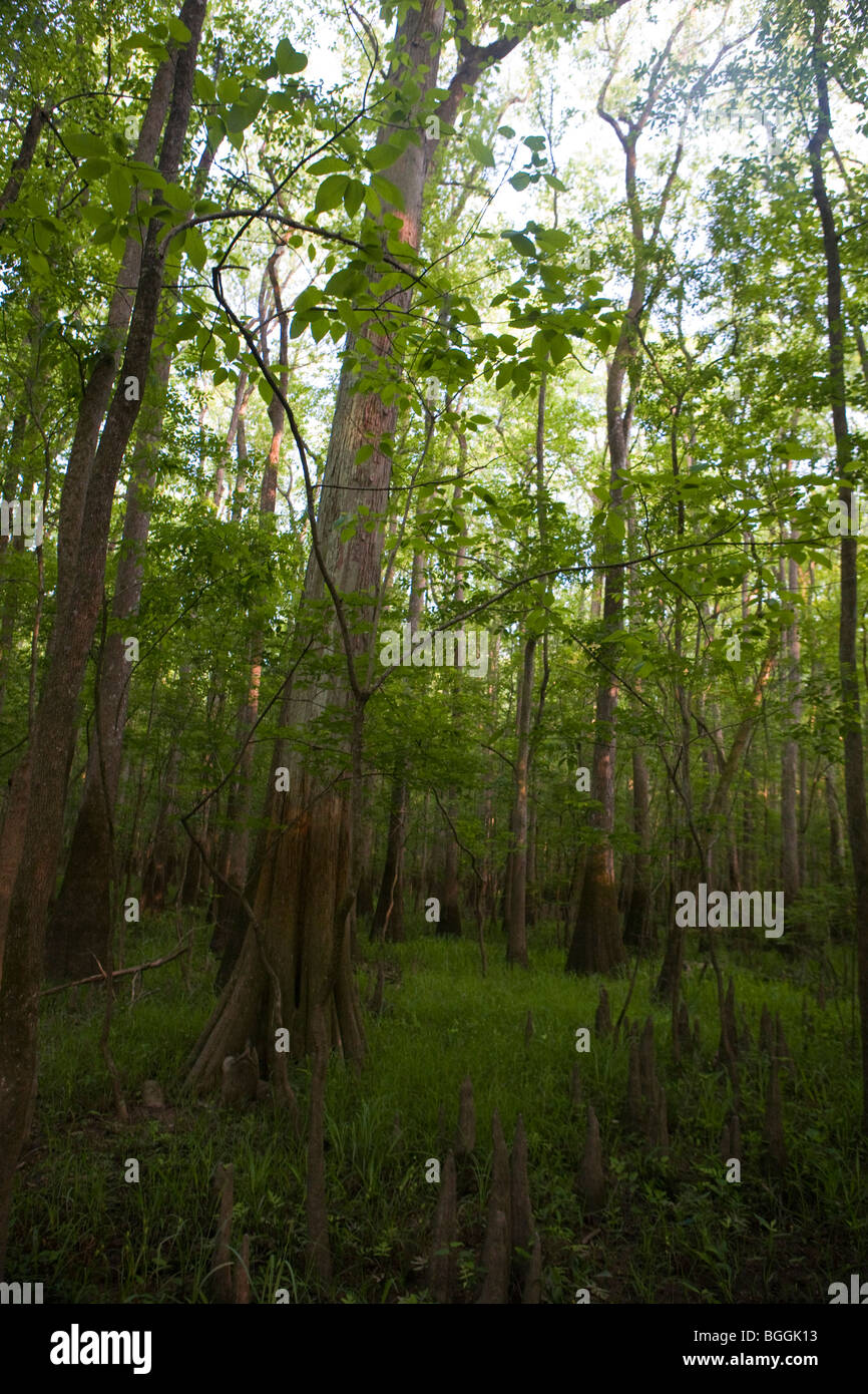 Trees in the forest, Congaree National Park, near Columbia, South Carolina, United States of America - Stock Image